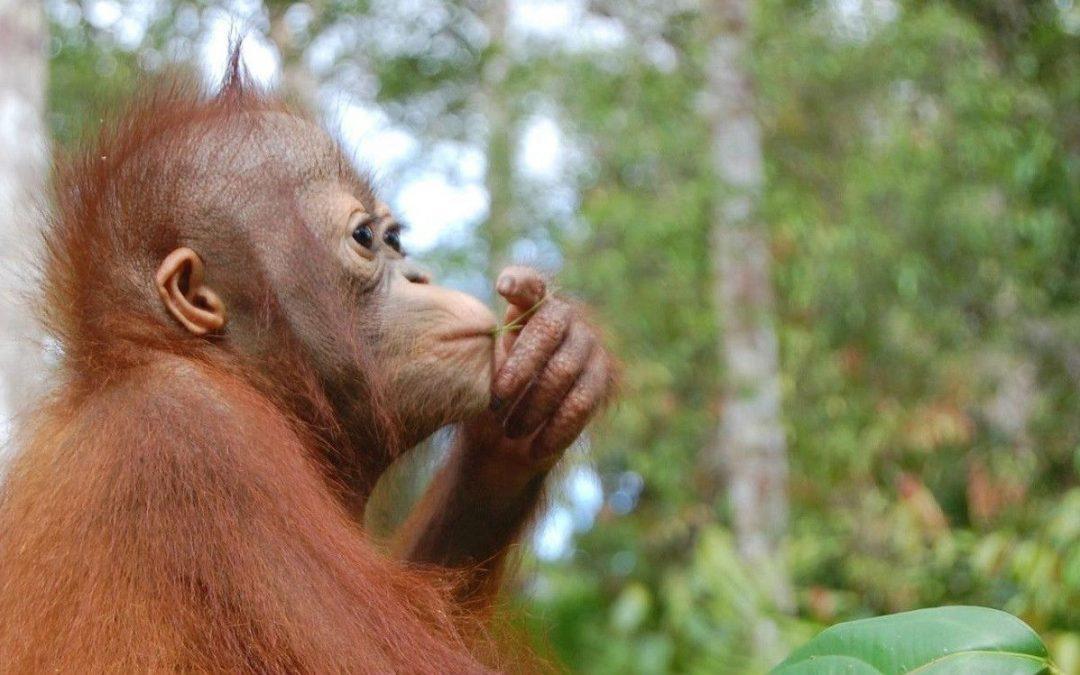 Orang Utan is critically endangered