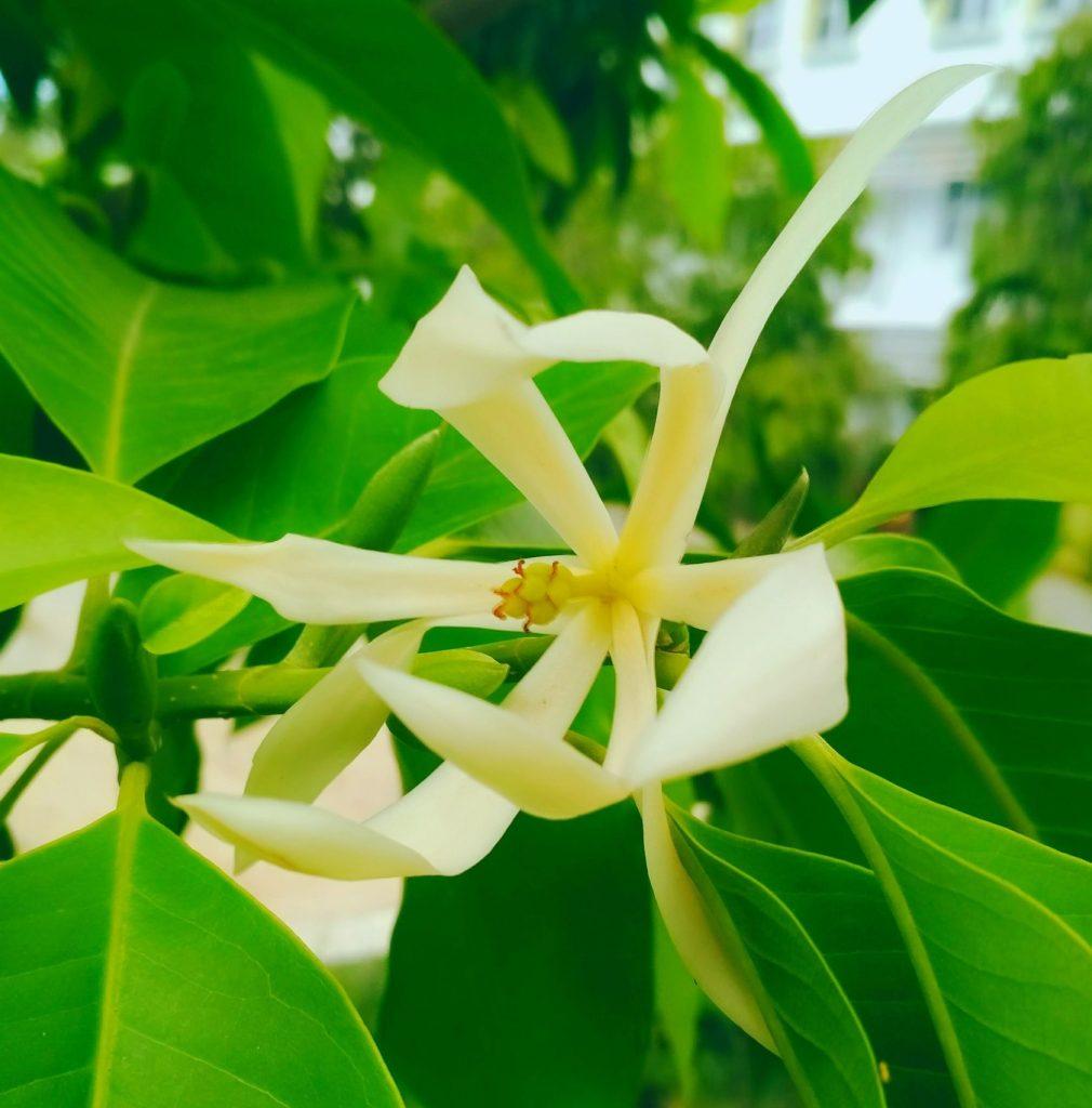 Flower Jeumpa White