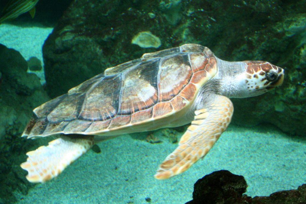 turtle species Caretta caretta (Medium)