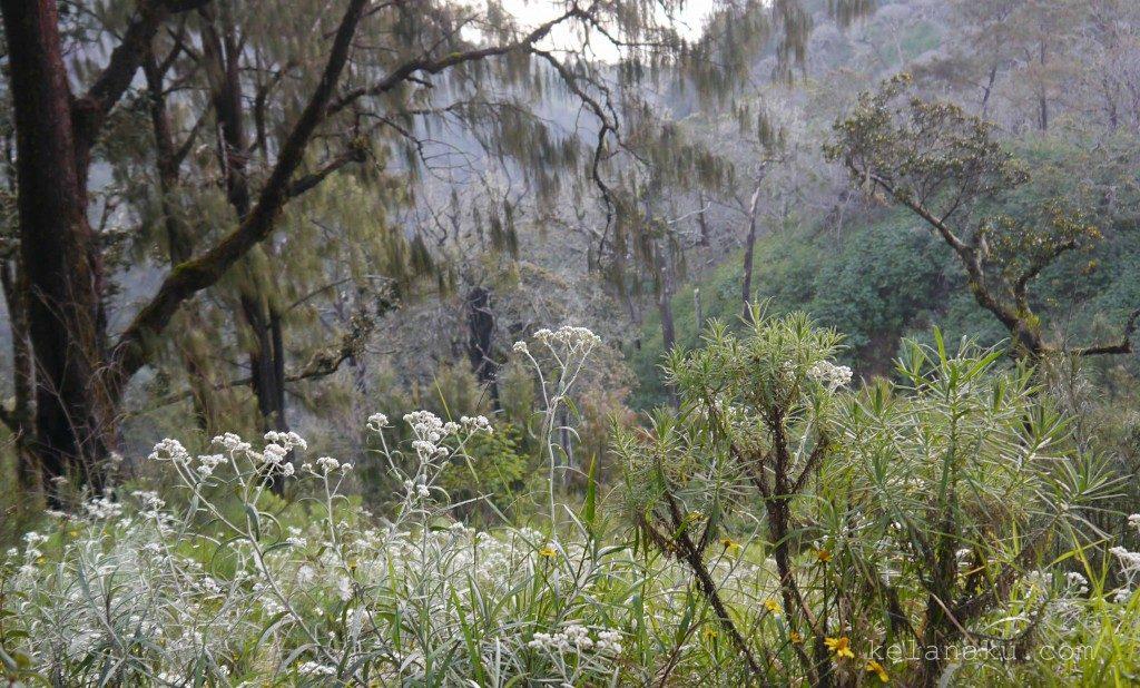 edelweiss flowers bunga edelweis