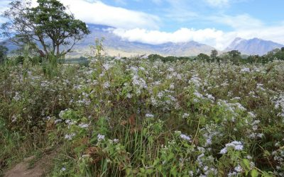 Where is the Most Beautiful Edelweiss Flower Garden in Indonesia?