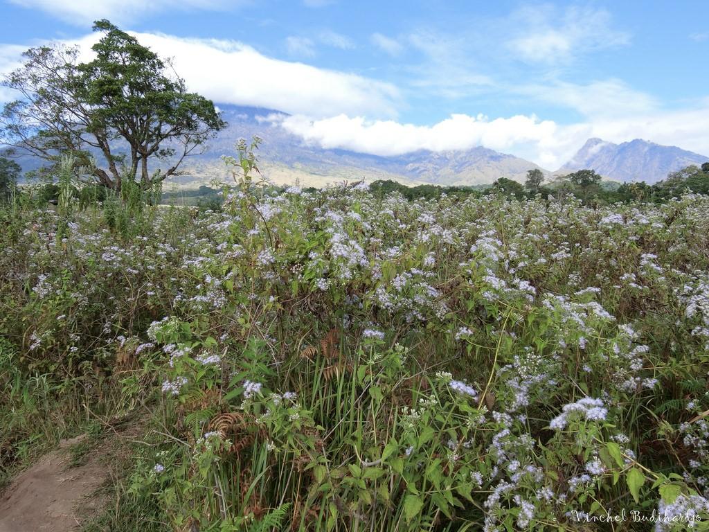 Edelweiss Flowers Bunga Edelweis Mount Rinjani Medium